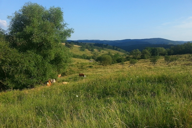 Vaci pascand libere pe dealuri / Cows grazing and roaming the hills, Cheile Nerei