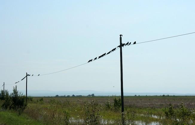 Ciori carcotase deasupra campurilor inundate / Inquisitive crows perched above the flooded fields, Moravita