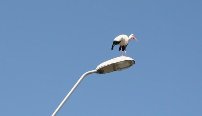 Barza in Moravita / Stork in Moravita