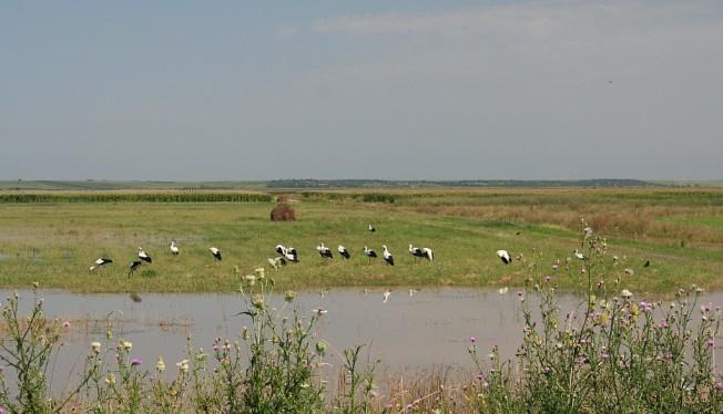 Si mai multe berze pe campul transformat in delta / More storks in the flooded fields of Moravita