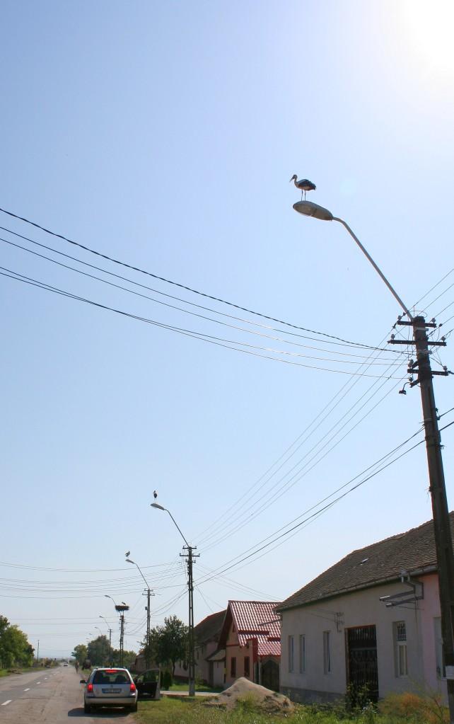 Berze aliniate pe (toti) stalpii de iluminat / Storks on every lamppost