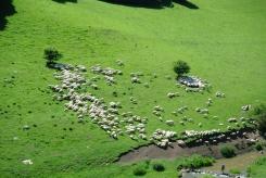 Sheep grazing in Cheile Turzii