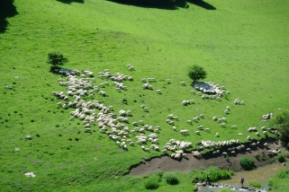 Sheep grazing in Cheile Turzii